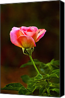 Rose Photography Canvas Prints - Pink Rose Canvas Print by James Steele