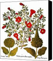 Major Canvas Prints - Pomegranate, 1613 Canvas Print by Granger