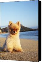 Waikiki Canvas Prints - Pomeranian in Waikiki Canvas Print by Brandon Tabiolo - Printscapes