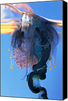 Colonial Man Photo Canvas Prints - Portuguese Man-of-war Canvas Print by Georgette Douwma