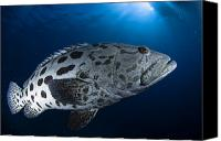 Grouper  Canvas Prints - Potato Grouper, Australia Canvas Print by Todd Winner
