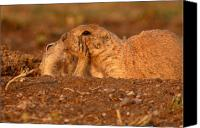 Prairie Dog Photo Canvas Prints - Prairie Dog Tender Sunset Kiss Canvas Print by Max Allen