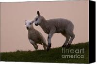 Prancing Canvas Prints - Prancing Lamb Canvas Print by Angel  Tarantella