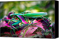 Predatory Canvas Prints - Praying Mantis Canvas Print by Robert Bales