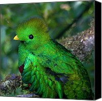 Exotic Bird Canvas Prints - Quetzal Canvas Print by Heiko Koehrer-Wagner