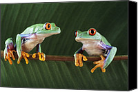 Red-eyed Frogs Canvas Prints - Red-eyed Tree Frogs Canvas Print by David Aubrey