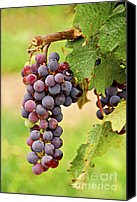Horticultural Canvas Prints - Red grapes Canvas Print by Elena Elisseeva