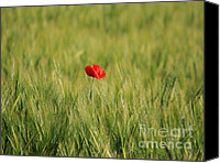 Nature Photo Canvas Prints - Red Poppy in field  Canvas Print by Pixel  Chimp