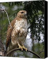 Nature  Canvas Prints - Red Tail Hawk 2 Canvas Print by Peter Gray