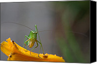 Grasshopper Canvas Prints - Right At You  Canvas Print by Karol  Livote