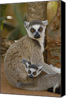Berenty Canvas Prints - Ring-tailed Lemur Lemur Catta Mother Canvas Print by Pete Oxford