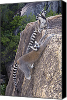 Color Stretching Canvas Prints - Ring-tailed Lemur Lemur Catta Trio Canvas Print by Pete Oxford