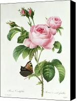 Bud Painting Canvas Prints - Rosa Centifolia Canvas Print by Pierre Joseph Redoute