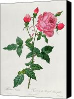 Grb Canvas Prints - Rosa Indica Canvas Print by Pierre Joseph Redoute