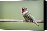 Ruby Throated Canvas Prints - Ruby-throated Hummingbird Canvas Print by Bonnie Barry