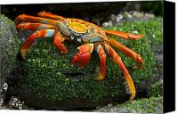Chromatic Contrasts Canvas Prints - Sally Lightfoot Crab, Grapsus Grapsus Canvas Print by Tim Laman