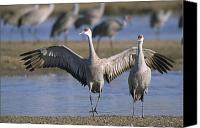 Sandhill Crane Canvas Prints - Sandhill Cranes Roost Along The Platte Canvas Print by Joel Sartore