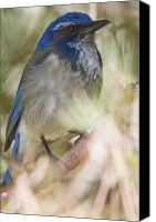 Scrub-jay Photo Canvas Prints - Scrub Jay Canvas Print by Robert Postma