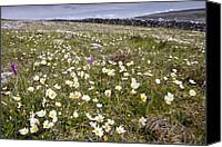 Avens Canvas Prints - Sea Milkwort (glaux Maritima) Canvas Print by Bob Gibbons