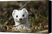 Animals And Earth Canvas Prints - Short-tailed Weasel Mustela Erminea Canvas Print by Konrad Wothe