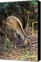 Forest Floor Canvas Prints - Sika Deer Canvas Print by Adrian Bicker