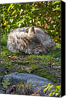 Wolf Cubs Canvas Prints - Sleeping Timber Wolf Canvas Print by Michael Cummings