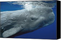 Whale Canvas Prints - Sperm Whale Physeter Macrocephalus Canvas Print by Hiroya Minakuchi