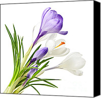 Crocus Canvas Prints - Spring crocus flowers Canvas Print by Elena Elisseeva