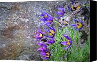 Pulsatilla Vulgaris Canvas Prints - Still Life With Pasque Canvas Print by Paul Causie