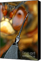 Cicada Canvas Prints - Stinger Of The Cicada Killer Wasp Canvas Print by Ted Kinsman