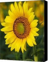 Floral Canvas Prints - Sunflower Canvas Print by Amanda Barcon