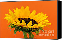Orange Flower Photo Canvas Prints - Sunflower closeup Canvas Print by Elena Elisseeva