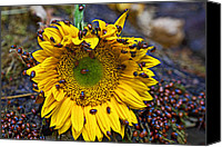 Insects Photo Canvas Prints - Sunflower covered in ladybugs Canvas Print by Garry Gay