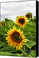 Rural Scenes Canvas Prints - Sunflower field Canvas Print by Elena Elisseeva