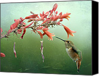 Annas Hummingbird Canvas Prints - Suspension Canvas Print by Fraida Gutovich