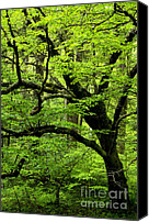 Williams Canvas Prints - Swamp Birch Canvas Print by Thomas R Fletcher