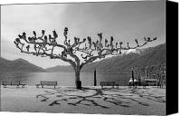Benches Canvas Prints - sycamore trees in Ascona - Ticino Canvas Print by Joana Kruse
