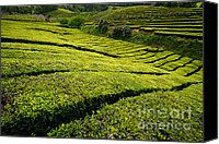 Cultivation Canvas Prints - Tea gardens Canvas Print by Gaspar Avila