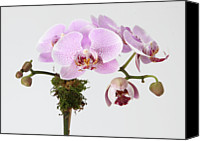 Pink Flower Branch Canvas Prints - The Branch Of A Flowering Orchid Canvas Print by Nicholas Eveleigh