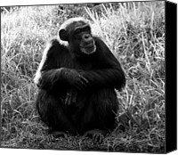 Chimpanzee Photo Canvas Prints - Thinking Canvas Print by David Lee Thompson