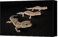Property Released Photography Canvas Prints - Three Female Leopard Geckos Eublepharis Canvas Print by Joel Sartore