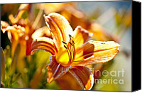 Lilies Canvas Prints - Tiger lily flower Canvas Print by Elena Elisseeva