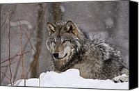 Wolf Cubs Canvas Prints - Timber Wolf in Winter Canvas Print by Michael Cummings