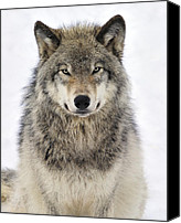 Timber Canvas Prints - Timber Wolf Portrait Canvas Print by Tony Beck