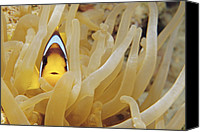Amphiprion Bicinctus Canvas Prints - Twoband Anemonefish Canvas Print by Alexis Rosenfeld