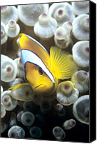 Amphiprion Bicinctus Canvas Prints - Twoband Anemonefish Canvas Print by Louise Murray