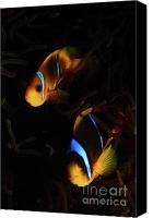 Amphiprion Bicinctus Canvas Prints - Underwater photography Canvas Print by Hagai Nativ