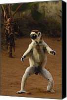 Berenty Canvas Prints - Verreauxs Sifaka Propithecus Verreauxi Canvas Print by Pete Oxford