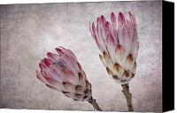 Unusual Photo Canvas Prints - Vintage proteas Canvas Print by Jane Rix