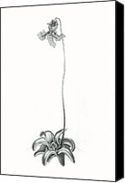 Drawings Digital Art Canvas Prints - Violet Butterwort Canvas Print by Scott Bennett